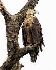 Pallas's Fish Eagle ( Haliaeetus leucoryphus) 2.jpg