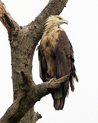 Pallas's fish eagle - Image: Pallas's Fish Eagle ( Haliaeetus leucoryphus) 2