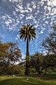 Palma Chilena, Parque Nacional la Campana.jpg