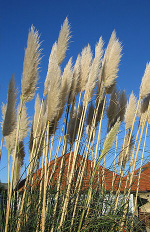 Flora of Uruguay - Pampas grass