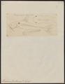Pangasius buchanani - 1700-1880 - Print - Iconographia Zoologica - Special Collections University of Amsterdam - UBA01 IZ14600055.tif