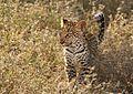 Panthera pardus 2 (Martin Mecnarowski).jpg
