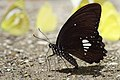Papilio castor formosanus male 20140719.jpg