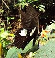 Papilio helenus - Red Helen nectering 01.JPG
