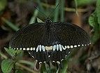 Papilio polytes-Thekkady-2016-12-02-001.jpg