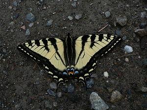 Papilio rutulus - Western tiger swallowtail, in British Columbia