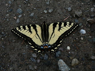 Papilio rutulus - Western tiger swallowtail, in British Columbia