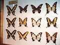 Papilionidae12.jpg