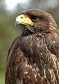 Parabuteo unicinctus -falconry show-8a (9).jpg