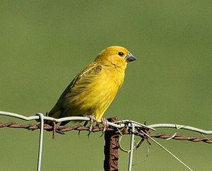 Cuckoo-finch - Midmar Game Reserve, KwaZulu-Natal, South Africa.