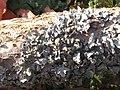 Parmelia sulcata 118435733.jpg