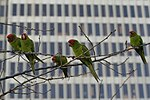 Parrots of telegraph hill.jpg