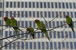 Feral Red-masked Parakeets in San Francisco. The population is the subject of the book and film, The Wild Parrots of Telegraph Hill.
