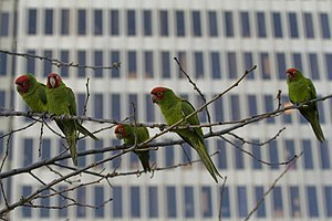Red-masked parakeet - Parrots on Telegraph Hill, San Francisco