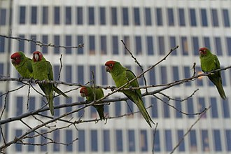 Red-masked parakeet - Parrots on Telegraph Hill, San Francisco