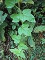 Passiflora foetida 01.JPG