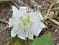 Passiflora foetida W IMG 0564.jpg