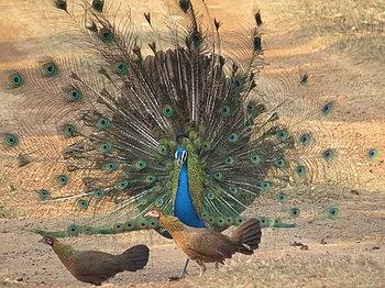 Peacock15.jpg