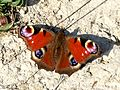 Peacock (33469481465).jpg