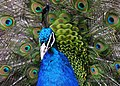 Peacock Flamenco - Flickr - Mark Wheadon.jpg