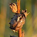 Pedicularis sceptrum-carolinum - Seed capsule - Niitvälja bog.jpg