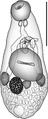 Peerj-292-fig-3 Zoogonidae.png