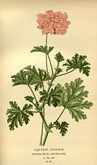Pelargonium graveolens flickr.jpg
