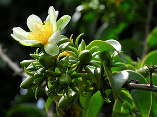 <i>Pereskia aculeata</i> species of plant