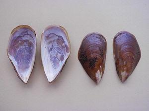 Perna perna - Shells views (internal and external) of Perna perna
