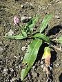 Persicaria amphibia sl17.jpg