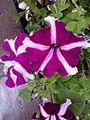 Petunia hybrida - πετούνια 02.jpg
