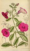 Petunia integrifolia 144-8749