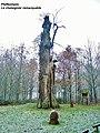 Pfaffenheim.Le chataignier remarquable. 2013-12-11.JPG