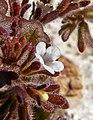 Phacelia rotundifolia 2.jpg