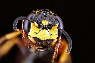 Beewolf - Image: Philanthus gibbosus, female, face 2012 07 31 20.20.35 ZS P Max