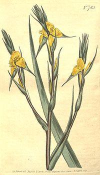 Philydrum lanuginosum.jpg