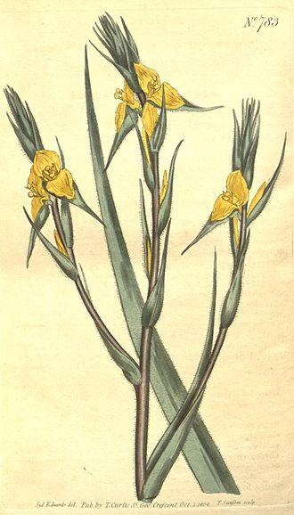 Philydrum - Philydrum lanuginosum