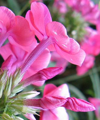 Aestivation (botany) - Image: Phlox aestivation