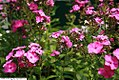Phlox paniculata Magic Blue 2zz.jpg
