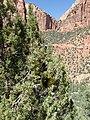 Phoradendron juniperinum kz09.jpg