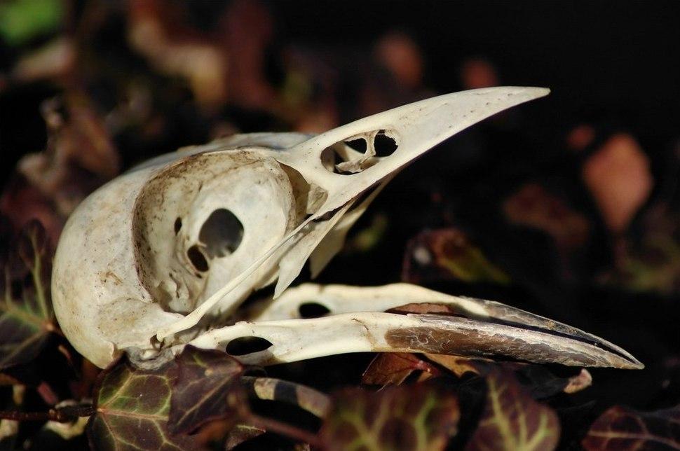 Pica pica skull