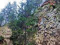 Picea abies - Transylvania - 1.jpg