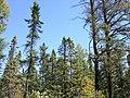 Picea mariana 3 (5098102914).jpg