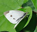 Pieris rapae qtl1.jpg