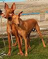 Pies faraona e34.parka.jpg