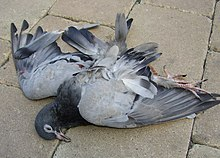 A dead pigeon.