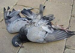Pigeon krakow