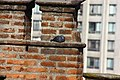 Pigeon resting - Pomba descançando (14851050158).jpg