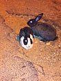 PikiWiki Israel 29614 Wild rabbits.jpg