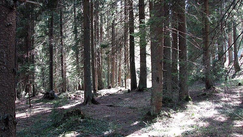 יער אשוחית